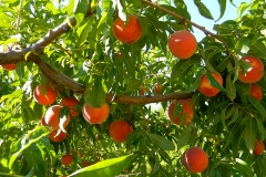 Organic Com-Peat can be used for growing stone fruit, like peaches.